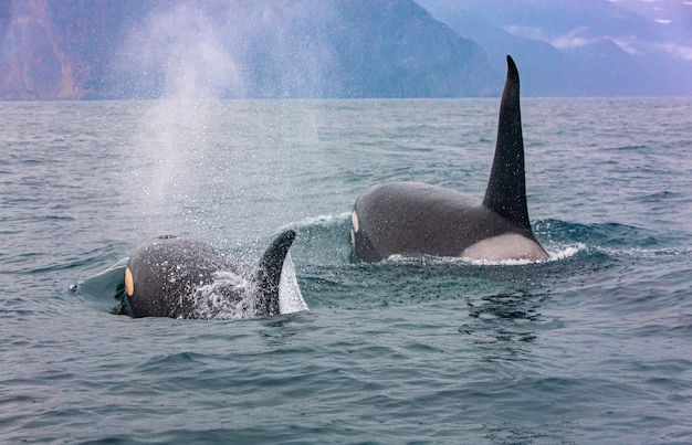 Selective focus. the pair of transient killer whales travel through the waters of avacha bay, kamchatka