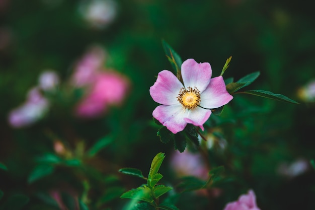 Selective focus photography of pink and white petaled flower