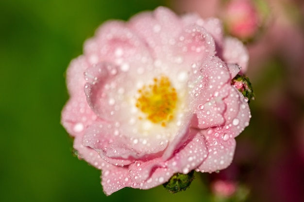 Selective focus  of a pink flower with some droplets on its petals