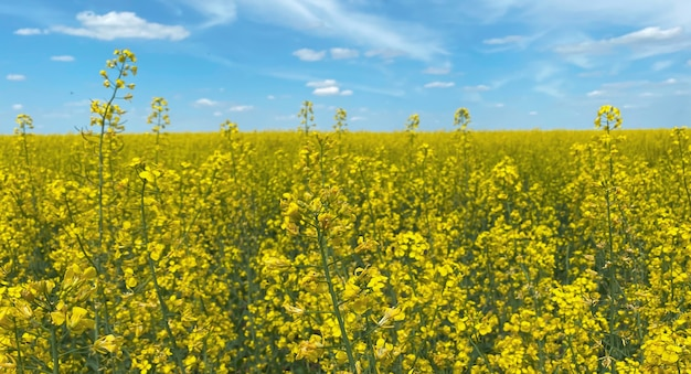 Selective focus, a rapeseed field against a blue sky showing the flag of ukraine, a symbol of ukraine.ukraine independence day.