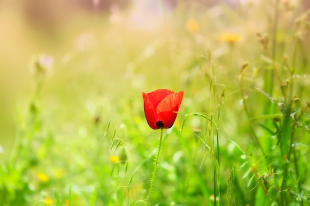 Selective focus of a red poppy in a field under the sunlight