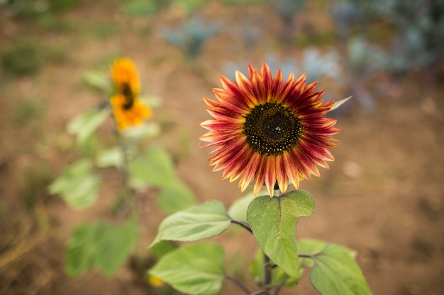 Selective focus of a red sunflower in a garden at daylight with a blurry background