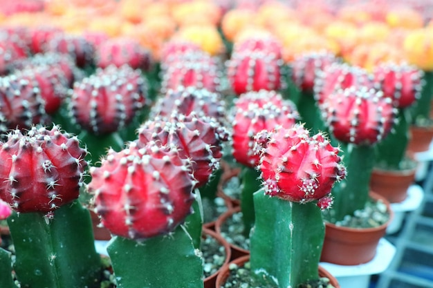 Selective focus of red and yellow cactus flowers, beautiful plant in pot.