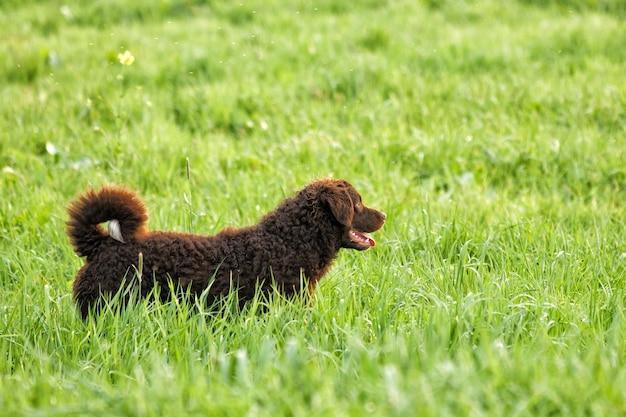 Colpo di messa a fuoco selettiva di un adorabile cane da riporto riccio