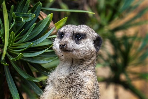 Colpo di messa a fuoco selettiva di un adorabile meerkat