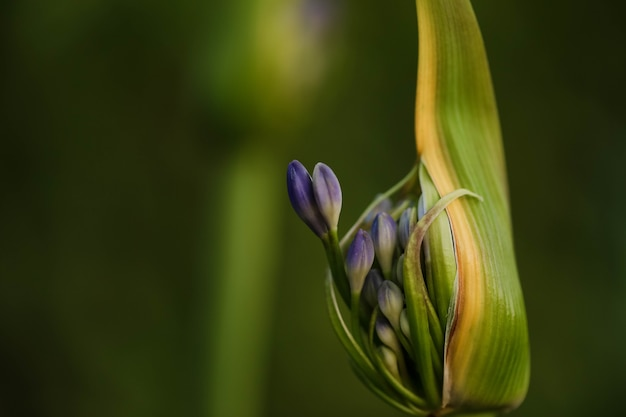 Selective focus shot of an agapanthus bud with flower about to burst out
