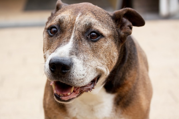 Selective focus shot of american staffordshire terrier
