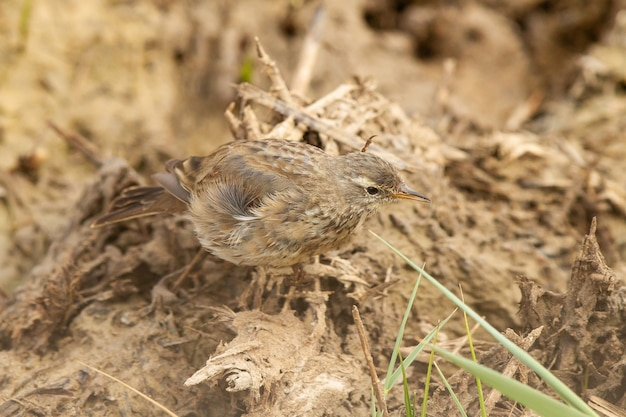 Selective focus shot of anthus spinoletta or water pipit perched on the ground