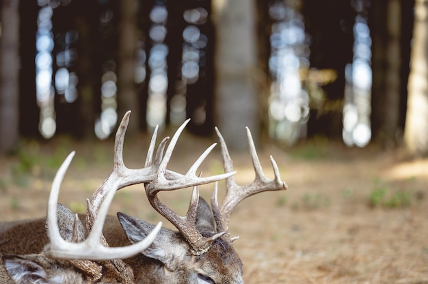 Selective focus shot of an antler on a deer on the woods