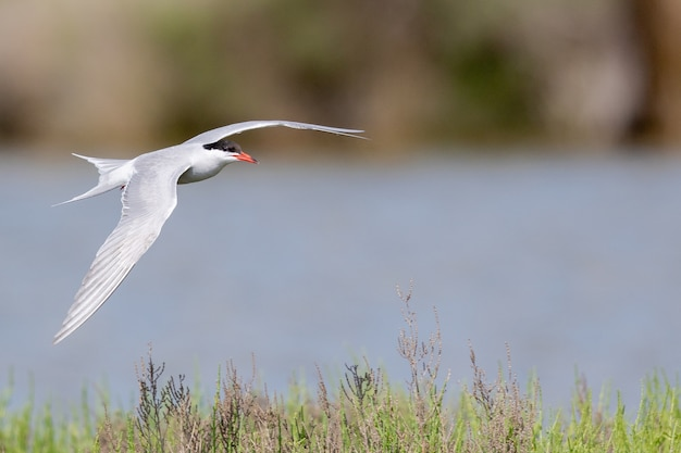 Selective focus shot of an arctic tern flying over the river