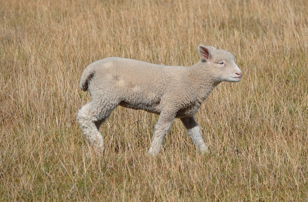 Selective focus shot of a baby lamb in the field