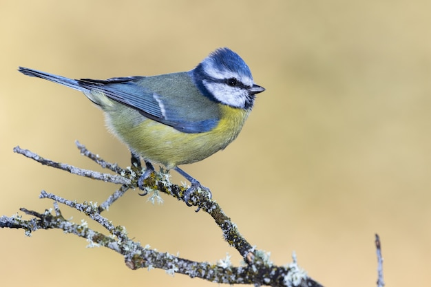 Selective focus shot of a beautiful blue tit perched on a branch with a blurred background