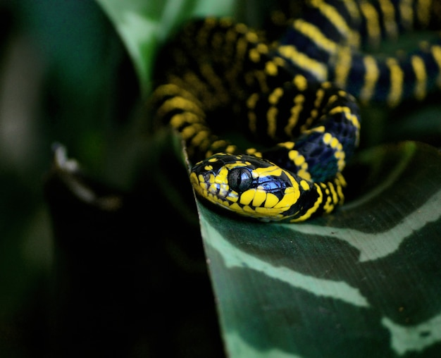 Selective focus shot of a beautiful boiga androphilia snake on a green leaf