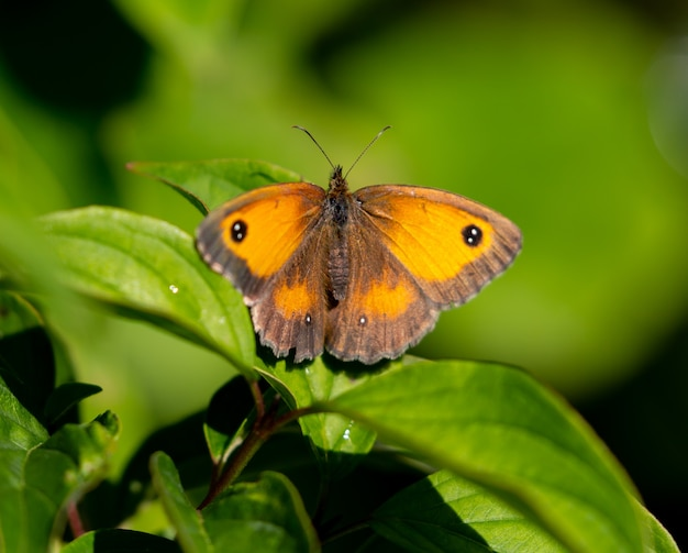 Selective focus shot of a beautiful brown and yellow butterfly on a green leaf