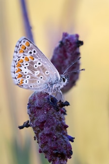 Selective focus shot of a beautiful butterfly on a lavender flower
