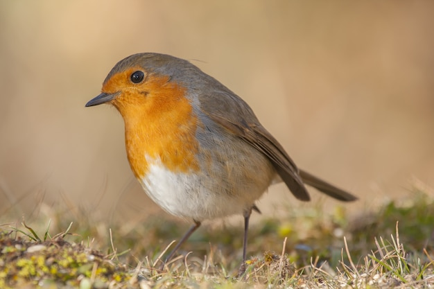 Selective focus shot of a beautiful european robin in the forest