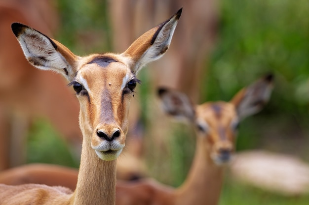 Selective focus shot of a beautiful gazelle in front of another gazelle in a forest