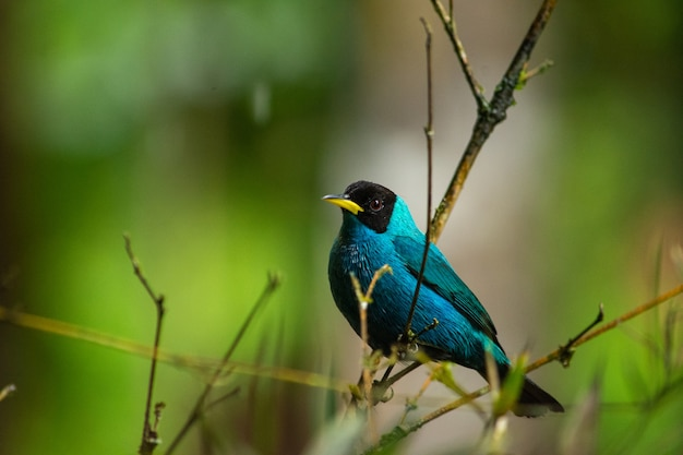 Selective focus shot of a beautiful green honeycreeper bird perched on a branch