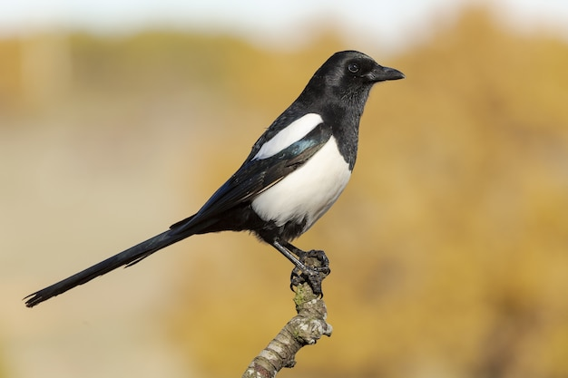 Selective focus shot of a beautiful magpie bird perched on a branch