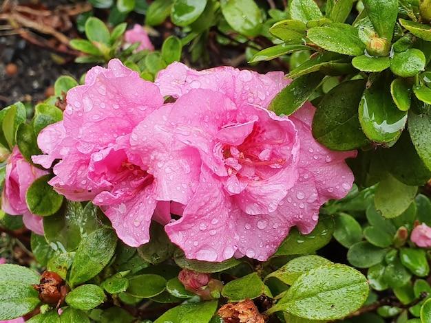 Colpo di messa a fuoco selettiva di bellissimi fiori rosa di famiglia delle quattro sul cespuglio