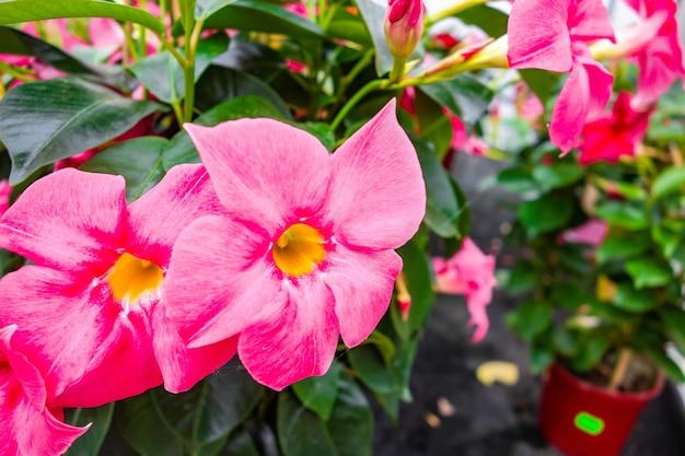 Selective focus shot of beautiful pink rocktrumpet flowers captured in a garden