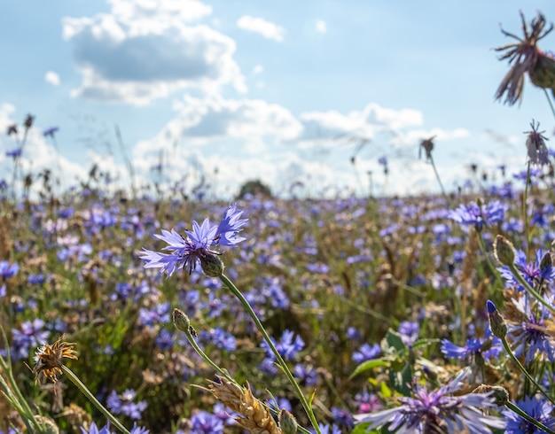 Colpo di messa a fuoco selettiva di bellissimi fiori viola su un campo sotto le nuvole nel cielo