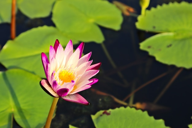 Selective focus shot of a beautiful purple water lily on a pond