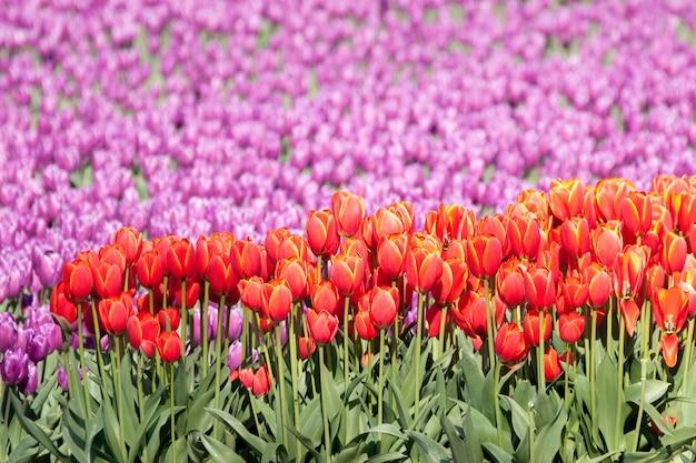 Messa a fuoco selettiva di bellissimi tulipani rossi e viola in un magnifico giardino di tulipani
