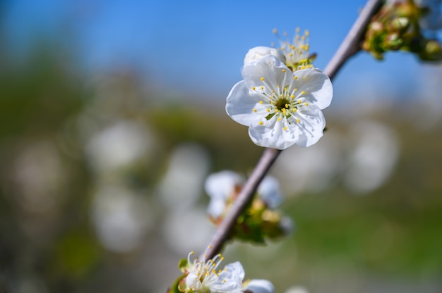 Selective focus shot of beautiful white blossoms on a branch in the middle of a garden