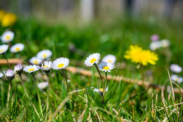 Selective focus shot of beautiful white daisy flowers on a grass-covered field