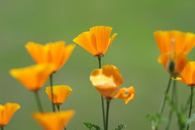 Selective focus shot of beautiful yellow california poppies with a blurred green background