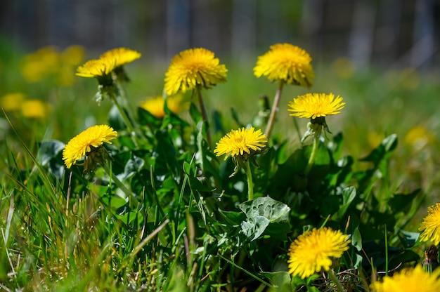 Colpo di messa a fuoco selettiva di bellissimi fiori gialli su un campo coperto d'erba