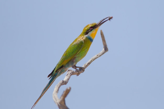 Selective focus shot of a bee eater bird with a caught fly