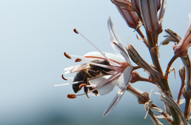 Selective focus shot of a bee sipping the nectar of asphodelus flowers against a blurred background