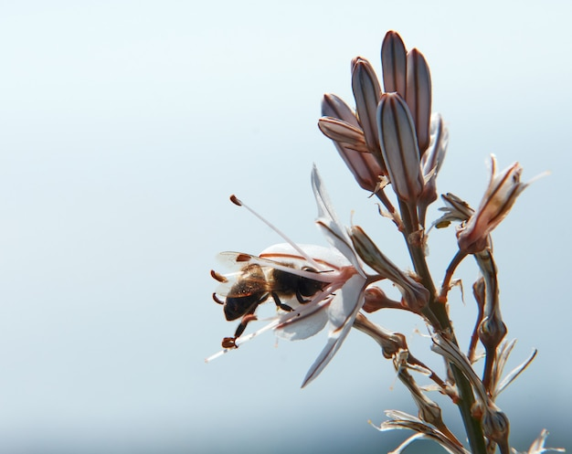 Selective focus shot of a bee sipping the nectar of asphodelus flowers on cloudy sky