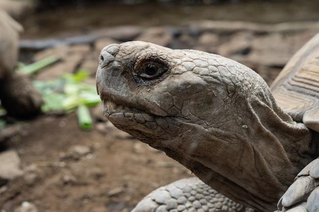 Colpo di messa a fuoco selettiva della testa di una grande tartaruga con terreno e foglie