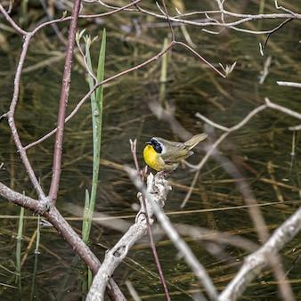 Colpo di messa a fuoco selettiva di un uccello con una pancia gialla su un ramo di un albero