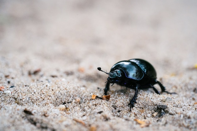 Selective focus shot of a black dung beetle on a sandy meadow in a dutch forest