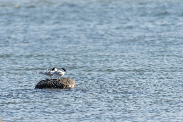 Selective focus shot of black-headed seagulls perched on a rock