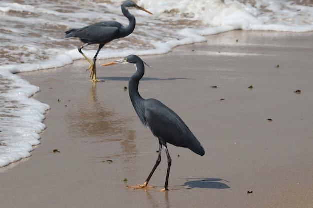 Selective focus shot of black herons hunting on a sandy beach