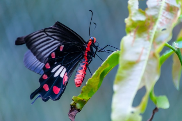 Selective focus shot of a black papilio on a green plant