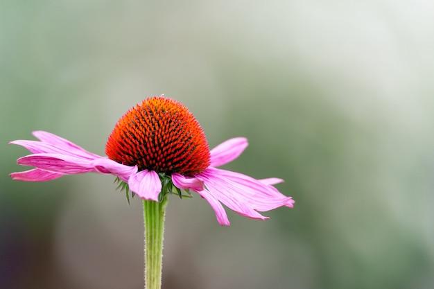 Messa a fuoco selettiva di un fiore di echinacea black-sampson in giardino
