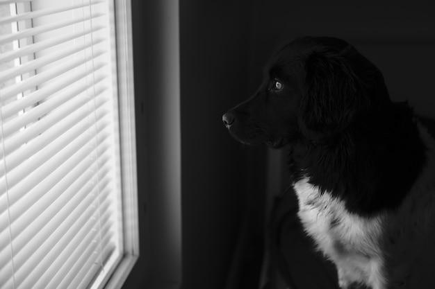Messa a fuoco selettiva di un cane bianco e nero che guarda fuori dalla finestra