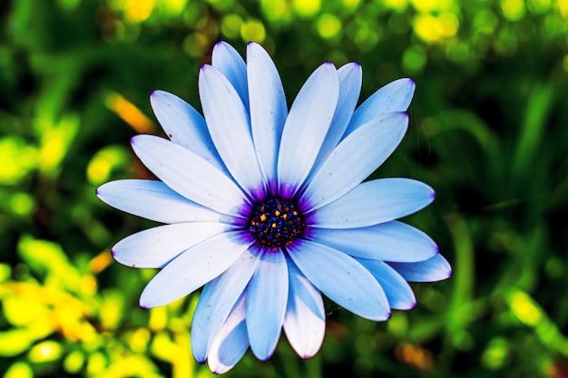 Colpo di messa a fuoco selettiva del fiore margherita africano blu