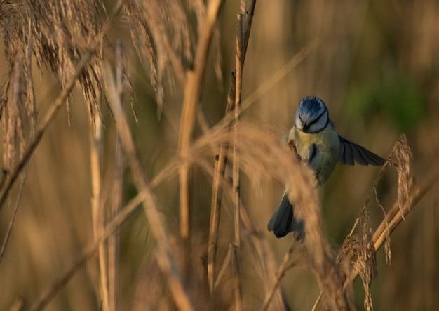 Colpo di messa a fuoco selettiva di un uccello blu jay con uno sfondo sfocato