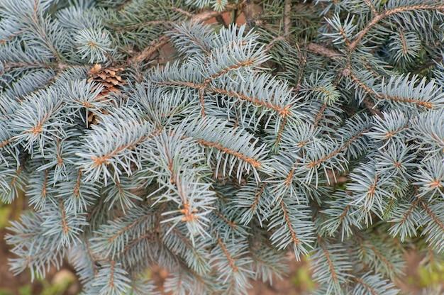 Colpo di messa a fuoco selettiva dei rami di un albero di abete rosso blu