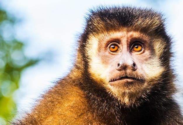 Selective focus shot of brown capuchin monkey
