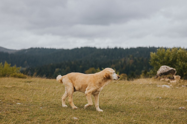 Selective focus shot of a brown golden retriever walking on the field