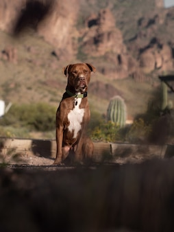 Selective focus shot of a brown pitbull in a canyon landscape