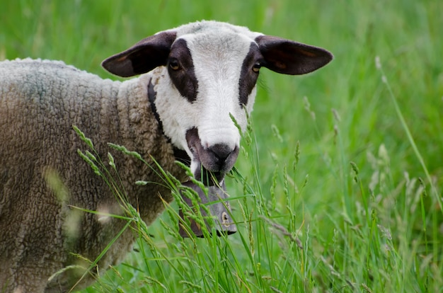 Selective focus shot of brown and white young sheep in the green field